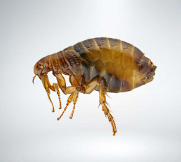 Fleas Extermination