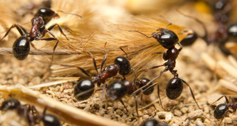 Ants Removal Services