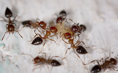 Expert Tips On How To Remove Ants From Home