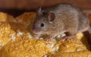5 Smart Tips To Keep Mice Away From Your Home